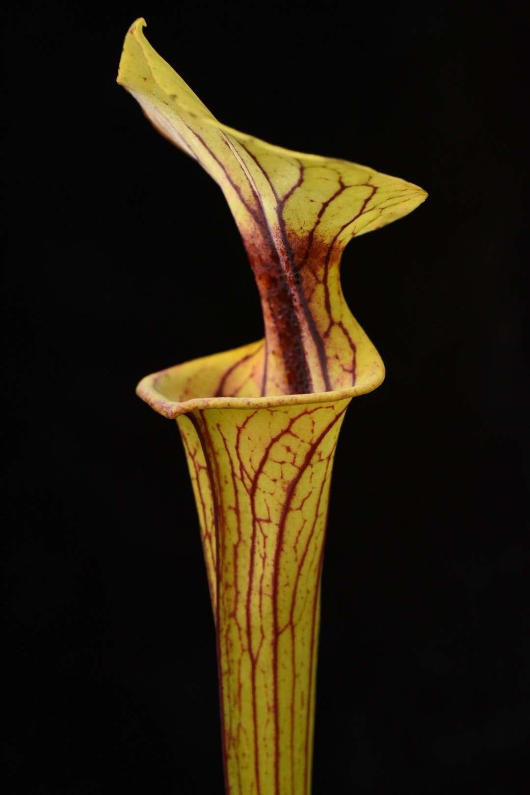 Sarracenia flava Extreme Red Throat Bay Co FL Mike W.