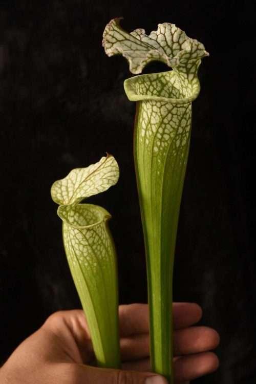 Sarracenia leucophylla near Seminole Bladwin Co AL S449 world O hand for scale