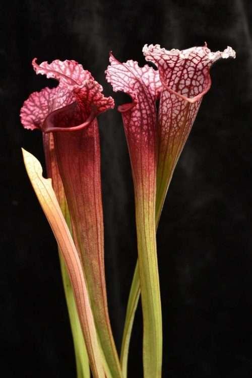 Sarracenia leucophylla (leucophylla x purpurea)