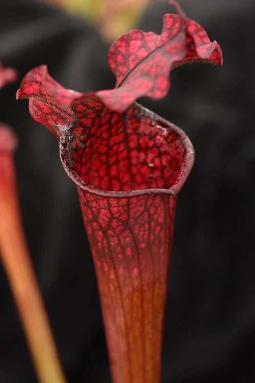 Sarracenia moorei (leucophylla small pitchers red vein x flava red tube)