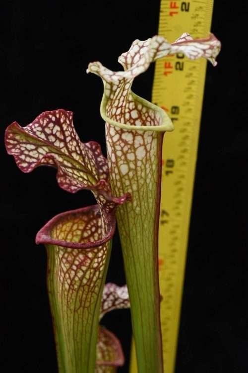 Sarracenia leucophylla x rubra Dan Winter