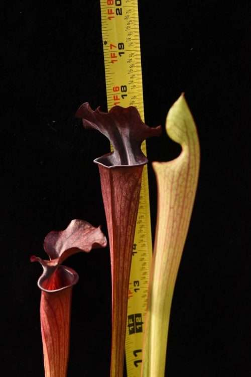 Sarracenia (alata black x flava red tube) x Ares (seed grown)