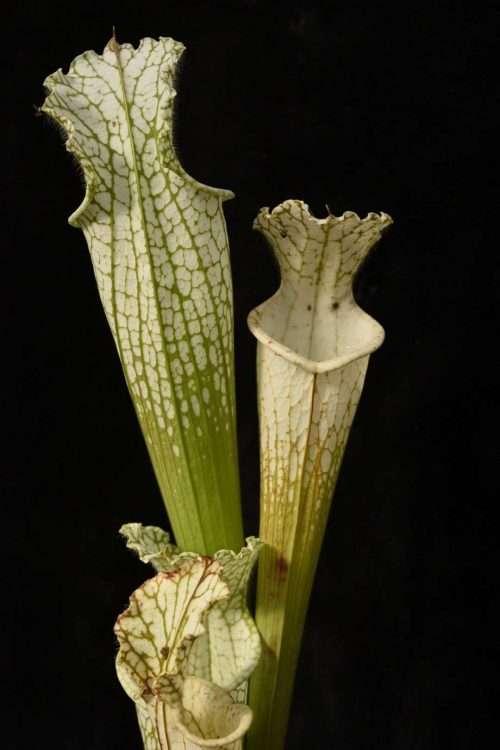 Sarracenia leucophylla mobile AL DW
