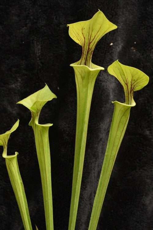 Sarracenia flava typical DW
