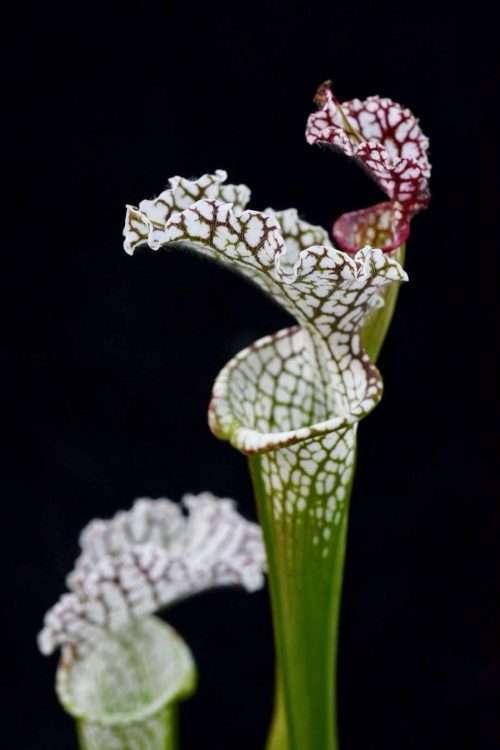 Sarracenia leucophylla Live Oak Creek Okaloosa Co FL - Very Tall Plants S453