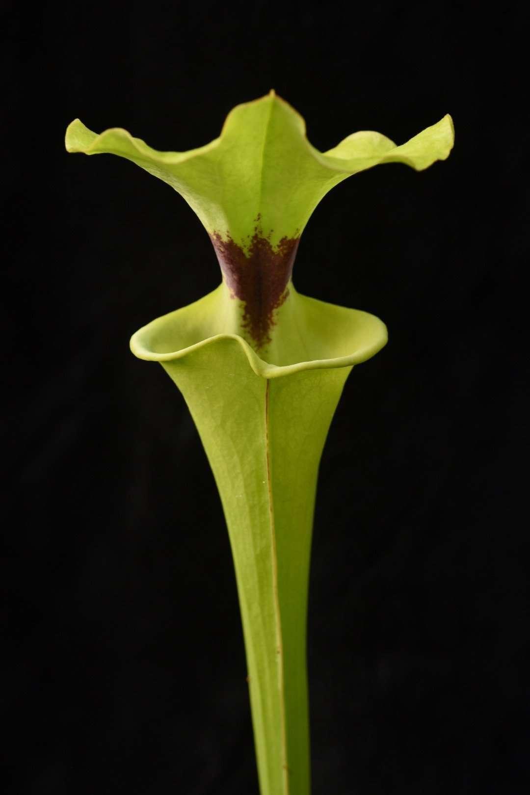 Sarracenia flava rugelii FC23