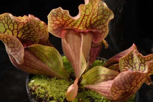 Sarracenia rosea Boldwin Co AL Mike W