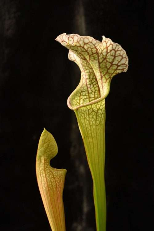 Sarracenia Stingray