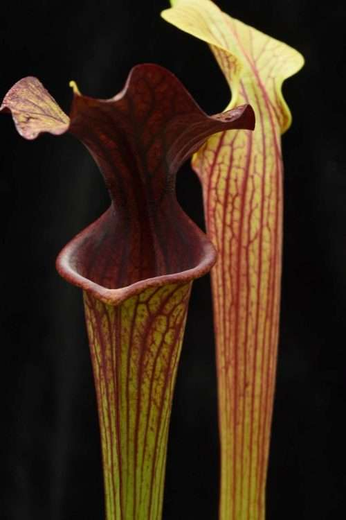 Sarracenia flava rubicorpora x black widow