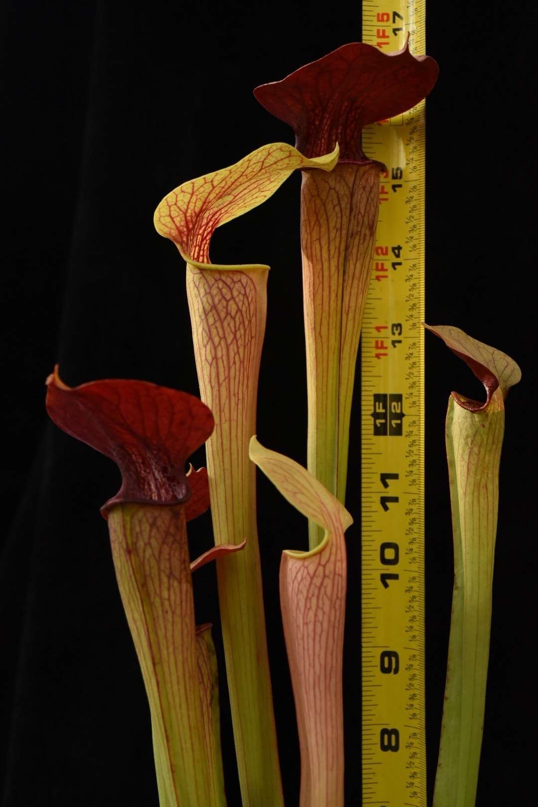 Sarracenia alata Maroon Throat FC17