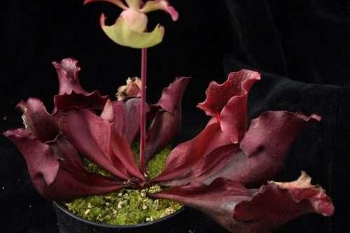 Sarracenia purpurea venosa Burkii