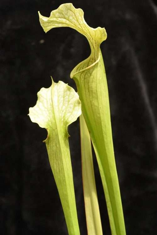 Sarracenia White Knight Meadowview