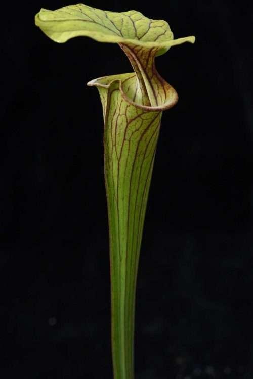 Sarracenia flava atropurpurea FC32 Andrew M.