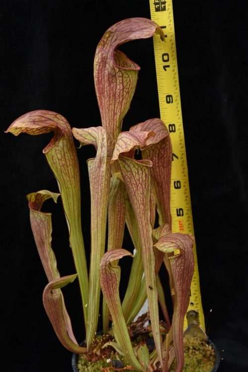 Sarracenia oreophila x minor