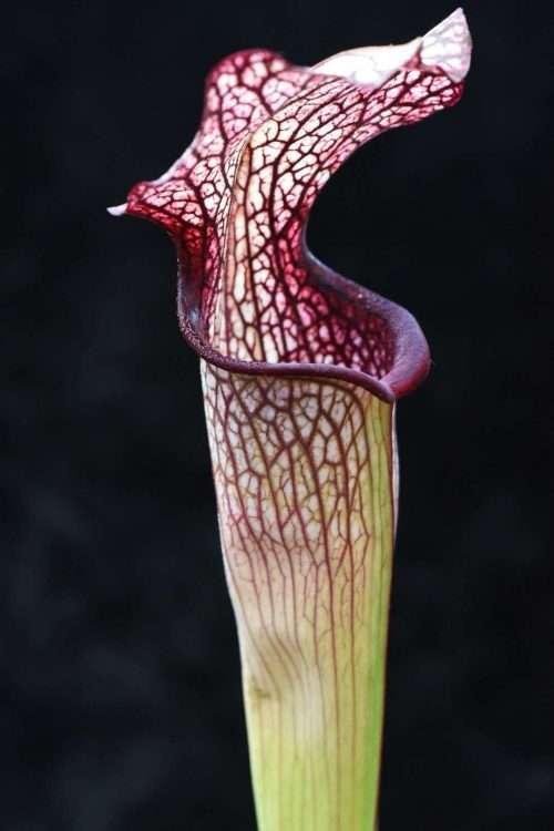 Sarracenia alata x leucophylla