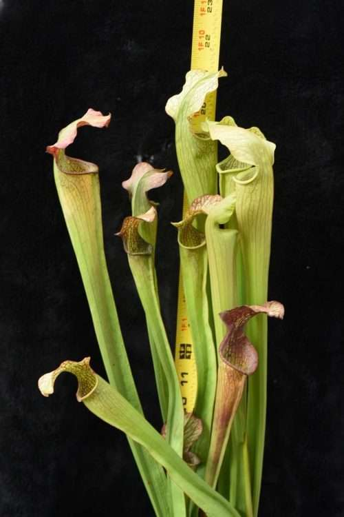 Sarracenia alata Tyler Co, TX Mike Howlett