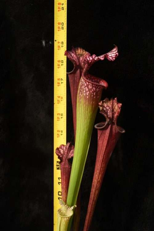 Sarracenia Leah Wilkerson x Royal Ruby LH120