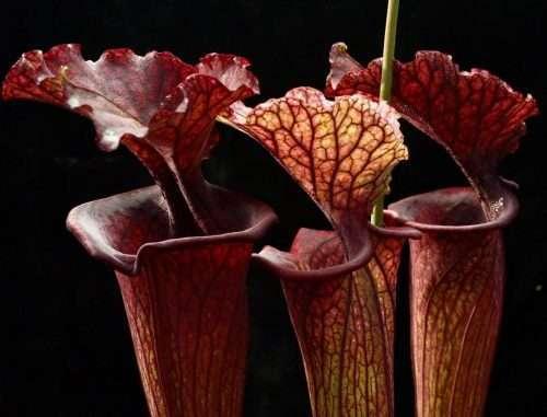 Phil Faulisi Sarracenia saurus