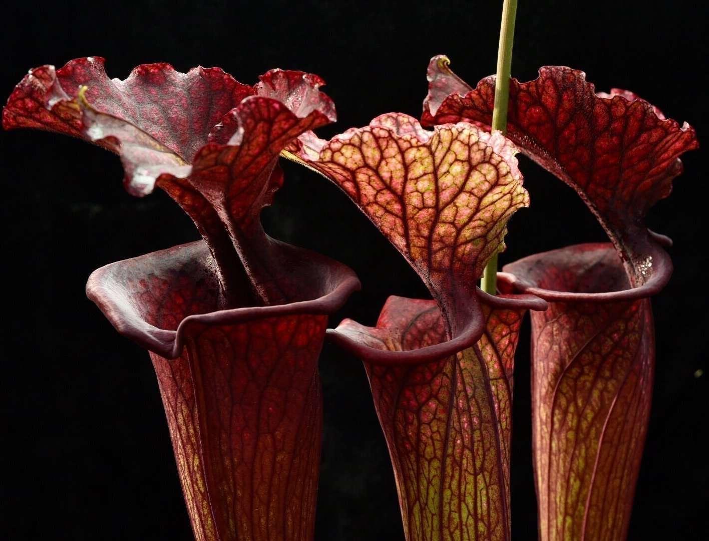 Sarracenia saurus - a famously robust S. moorei hybrid