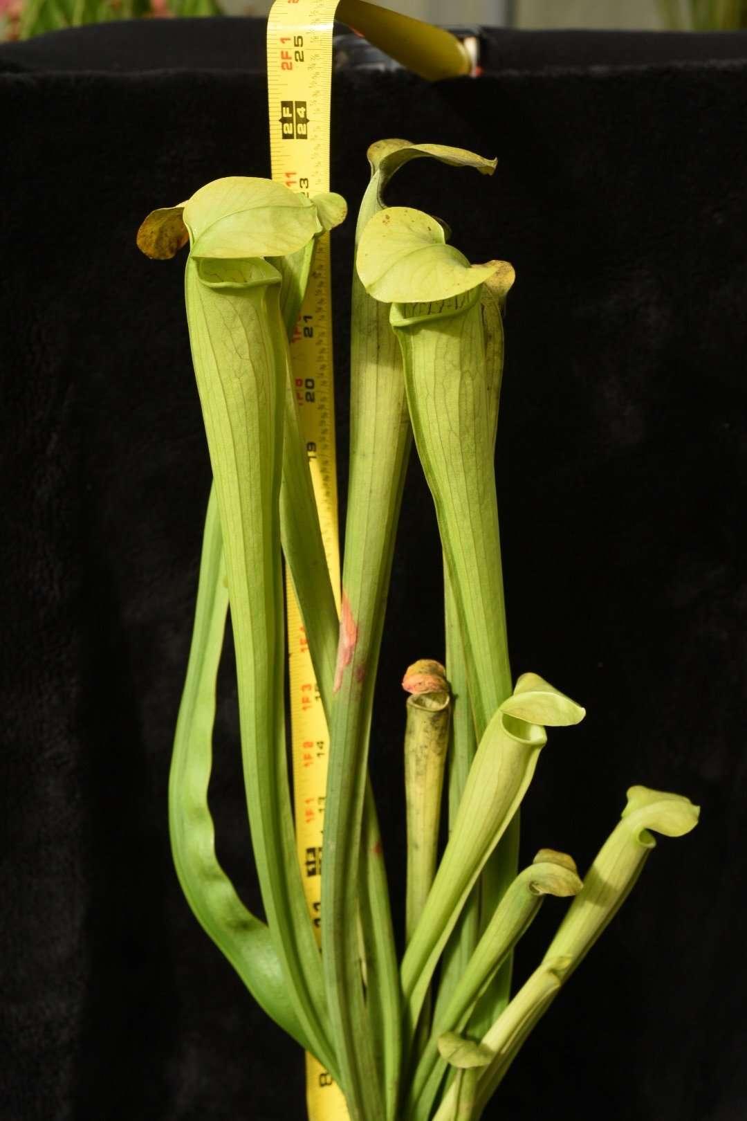 Sarracenia alata Covington LA FC16-1 MH