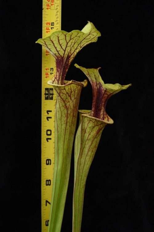 Sarracenia flava Walton Co FL FC28 Leah Wilkerson Bog BG