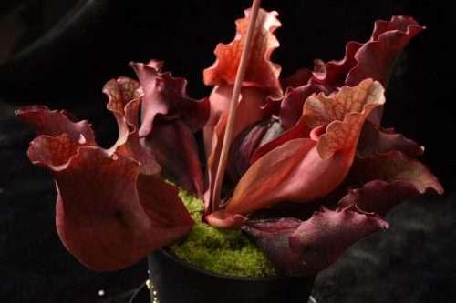 Sarracenia purpurea ssp. venosa DW