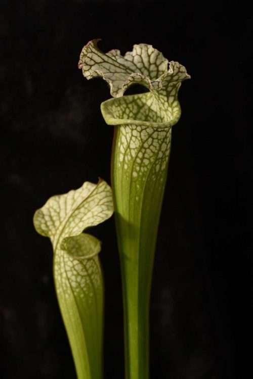 Sarracenia leucophylla near Seminole Bladwin Co AL S449 world O