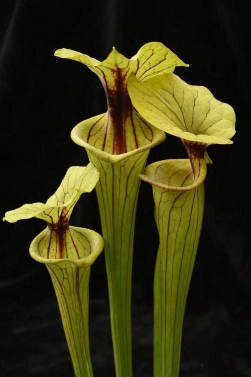 Sarracenia flava ornata Phil's clone