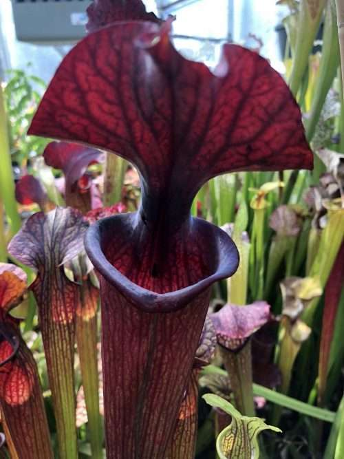 Sarracenia Black Widow x (Royal Ruby x flava ornata) Phil F.