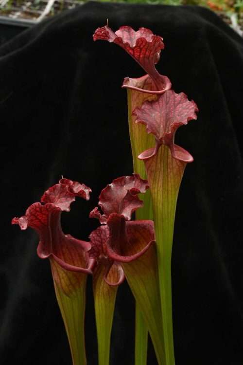 Sarracenia Leah Wilkerson x Prince of Darkness hybrid