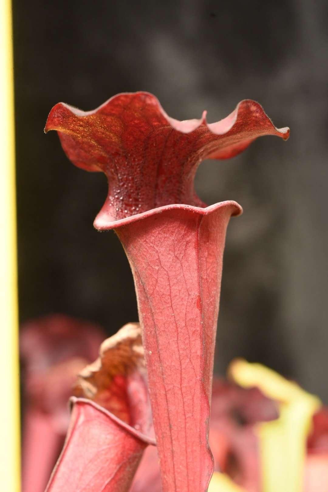Sarracenia Black Widow x Ares pitcher