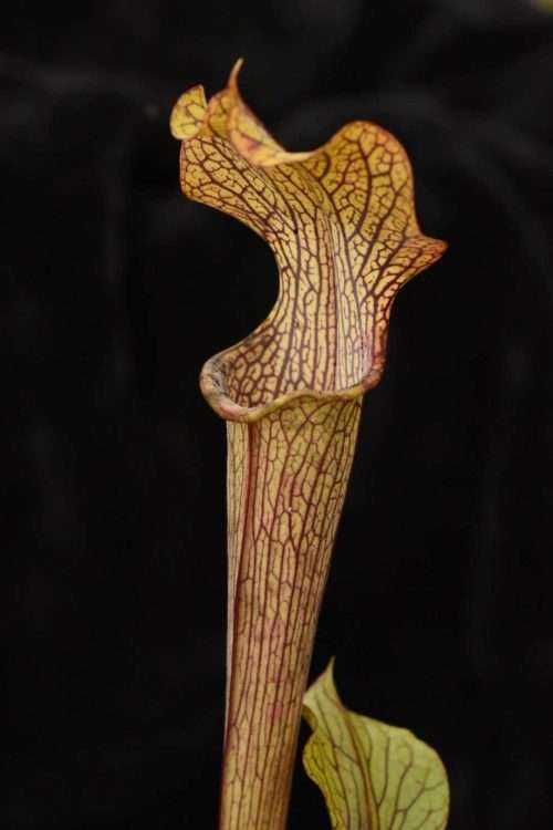 Sarracenia harvest of gold