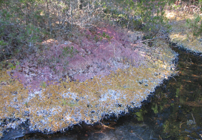 Frozen mats of Sphagnum in an Ocean County bog.
