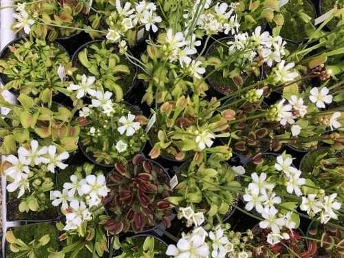 Venus flytrap flowers