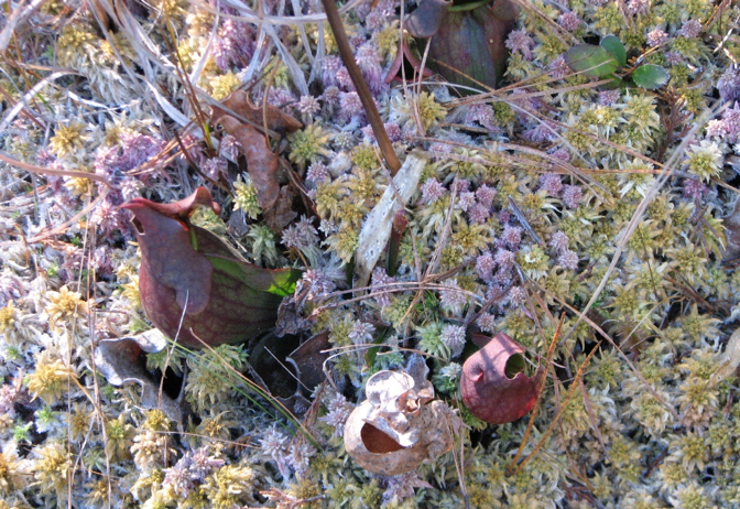 S. purpurea nestled in a frozen mat of Sphagnum.