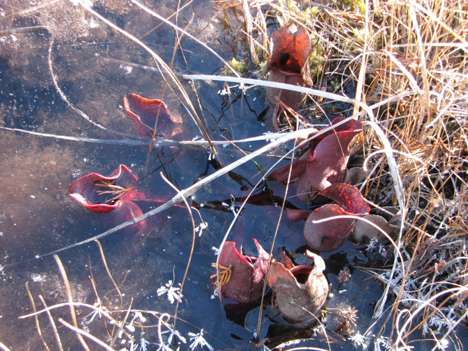 Sarracenia purpurea in frozen water