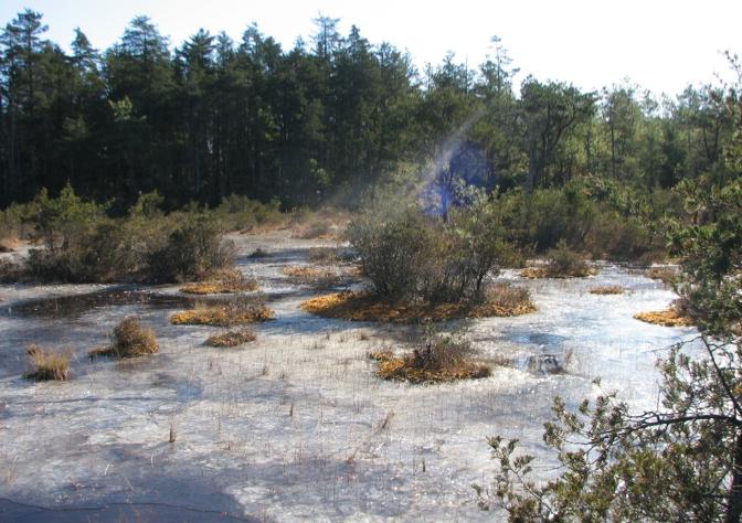 A frozen bog in Ocean County, NJ in mid-December