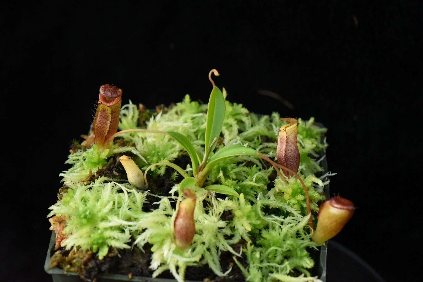 Seed grown Nepenthes jamban