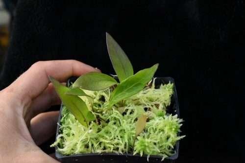 Utricularia alpina x edressii Foliage