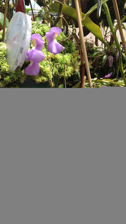 Utricularia humboldtii x alpina Flowers
