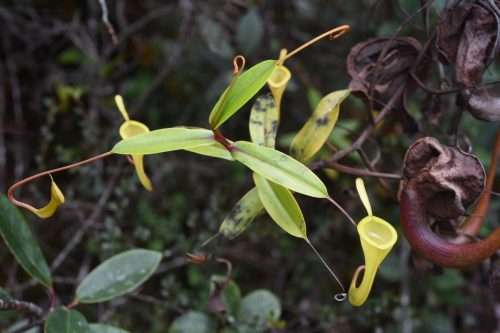 Nepenthes dubia foliage