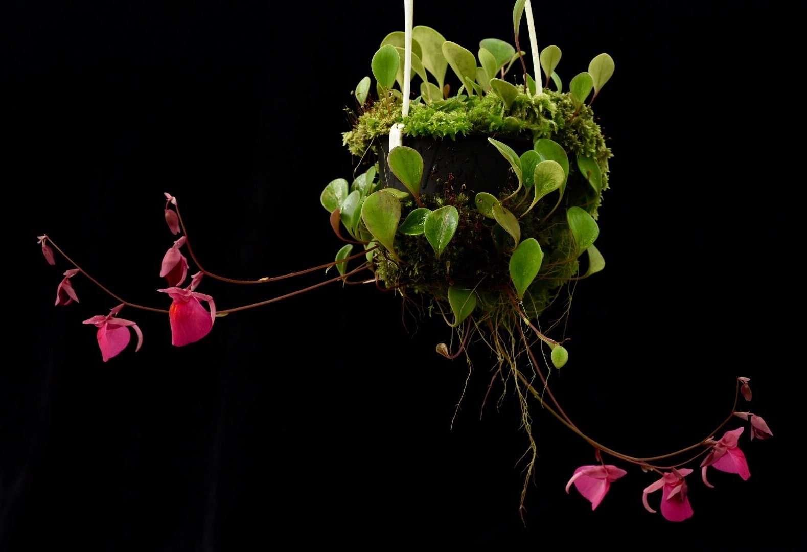 Utricularia quelchii Geoff Wong Clone