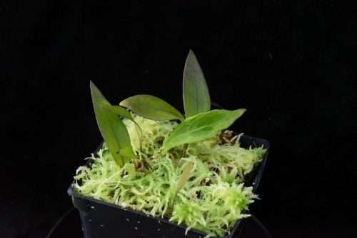 Utricularia alpina x edressii