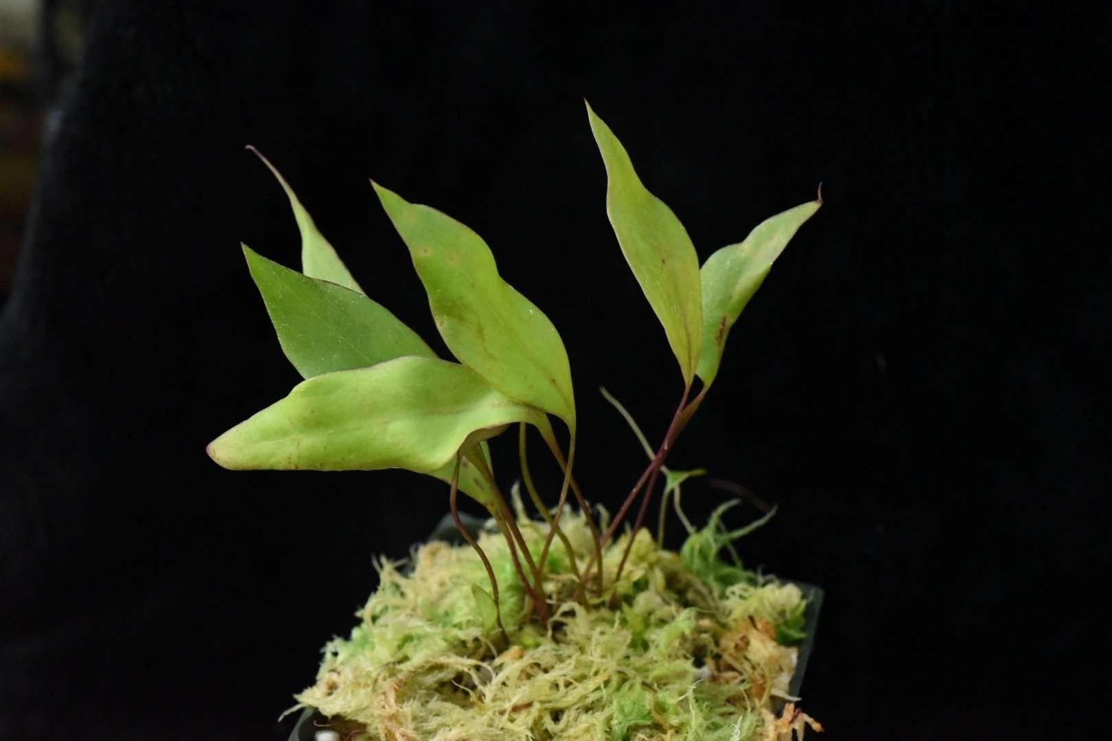 Utricularia humboldtii x alpina foliage