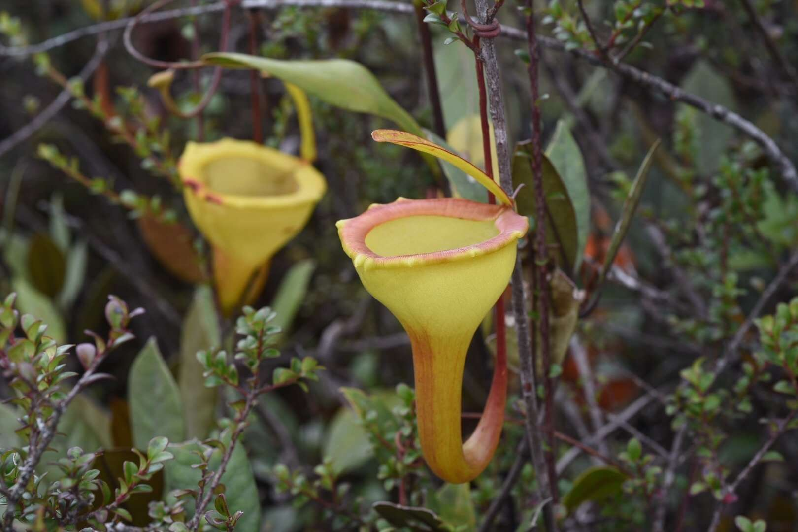 Adult Nepenthes jamban