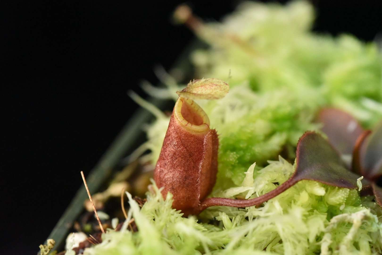 Nepenthes attenboroughii seedling Pitcher