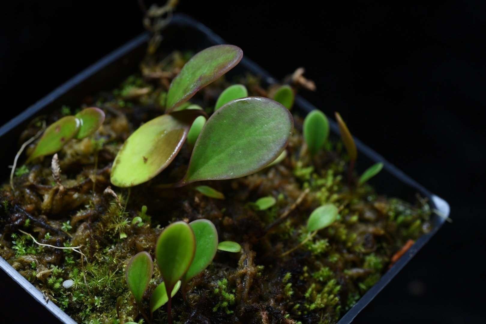 Utricularia quelchii for sale
