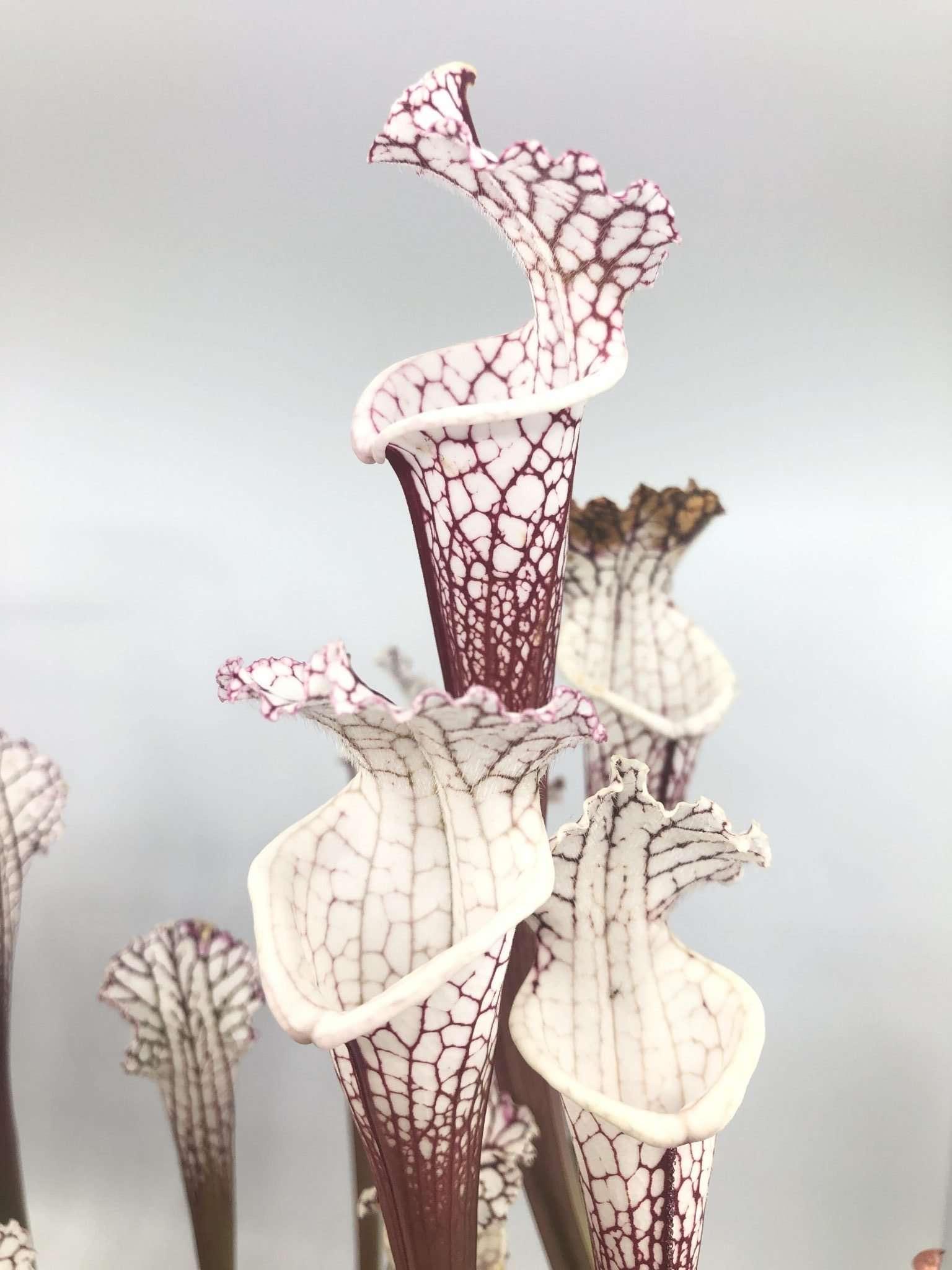 Sarracenia leucophylla Titan x Hurricane Creek #F