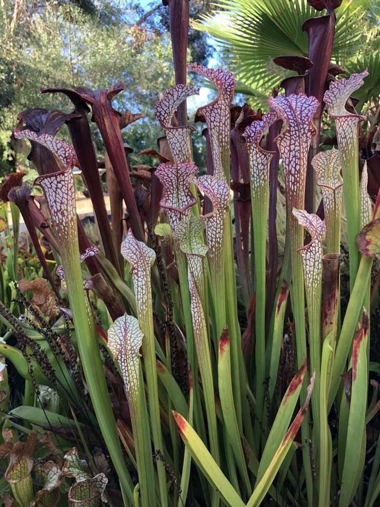 Sarracenia leucophylla division for sale