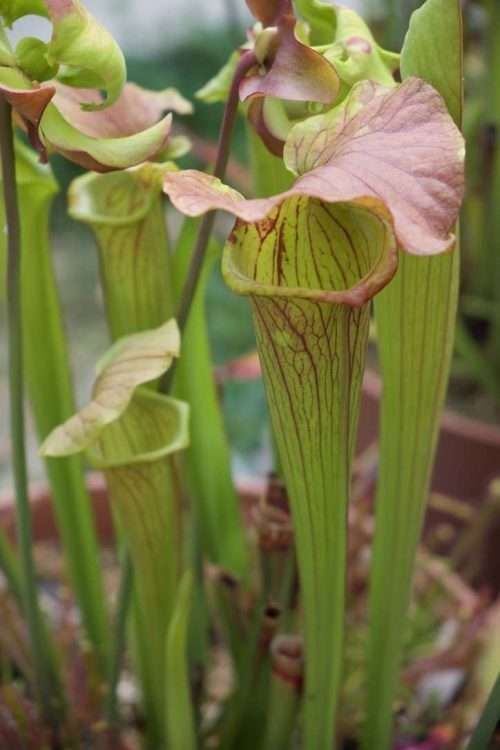 Sarracenia Savannah Fire x Cinnamon Tube